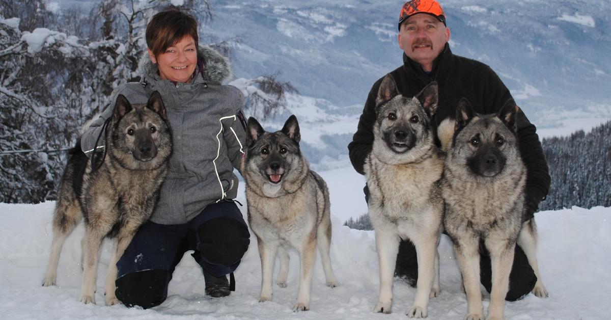 NEG, Karelsk Bjørnehund, Losnabakken Kennel, valpetid og avl med Geir Langset!