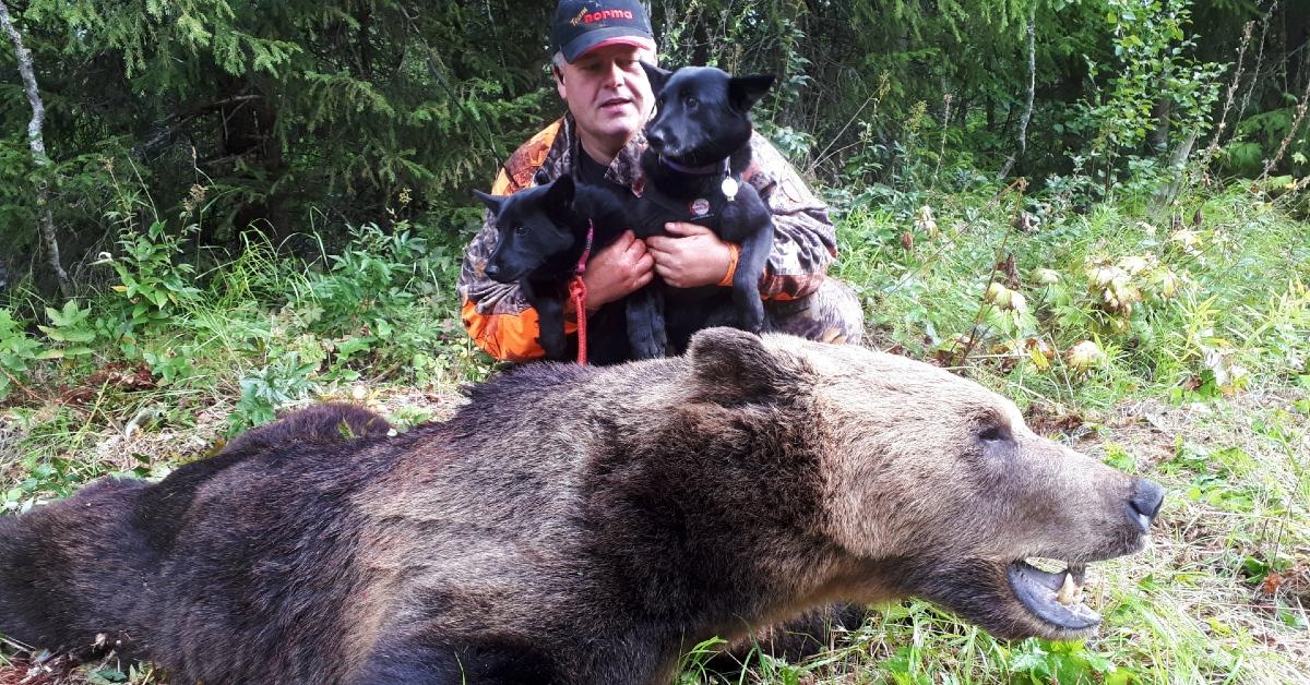 Norsk elghund sort, hundetrening og jaktprat med Helge Jakobsen